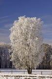 χειμώνας πεδίων σημύδων στοκ φωτογραφία