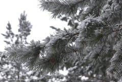 χειμώνας πεύκων κλάδων Στοκ Φωτογραφία