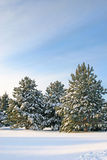 χειμώνας πεύκων Στοκ Φωτογραφίες