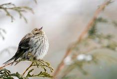 χειμώνας πεύκων siskin στοκ εικόνα
