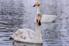 Χειμώνας πουλιών ζευγών λιμνών του Κύκνου Στοκ εικόνα με δικαίωμα ελεύθερης χρήσης