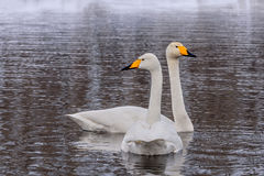 Χειμώνας πουλιών ζευγών λιμνών του Κύκνου Στοκ Εικόνες
