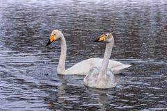 Χειμώνας πουλιών ζευγών λιμνών του Κύκνου Στοκ φωτογραφία με δικαίωμα ελεύθερης χρήσης