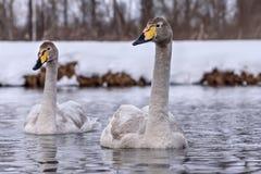 Χειμώνας πουλιών ζευγών λιμνών του Κύκνου Στοκ εικόνες με δικαίωμα ελεύθερης χρήσης