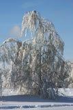 χειμώνας σημύδων Στοκ Φωτογραφία