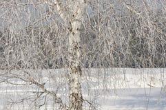 Χειμώνας σημύδων. Στοκ φωτογραφίες με δικαίωμα ελεύθερης χρήσης
