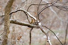 χειμώνας σκιούρων Στοκ Φωτογραφίες