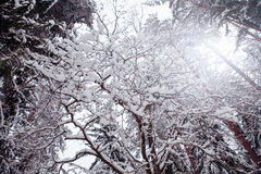 Χειμώνας στο ρωσικό δάσος Στοκ εικόνα με δικαίωμα ελεύθερης χρήσης