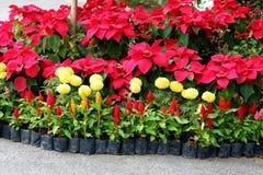 Χειμώνας Ταϊλάνδη λουλουδιών Στοκ εικόνες με δικαίωμα ελεύθερης χρήσης