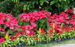 Χειμώνας Ταϊλάνδη λουλουδιών Στοκ Φωτογραφία