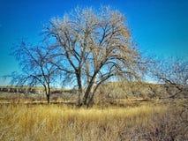 Χειμώνας φυσικό Cottonwood δασικό νότιο Κολοράντο Στοκ Φωτογραφίες