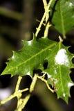χειμώνας φυτών ελαιόπρινο& Στοκ Εικόνα