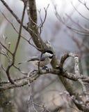 χειμώνας chickadee στοκ εικόνες