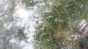Χειμώνας Idyll σε ένα δάσος πεύκων