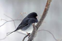Χειμώνας Junco Στοκ φωτογραφία με δικαίωμα ελεύθερης χρήσης