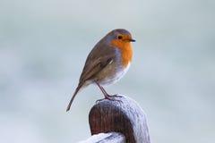 Χειμώνας Robin Στοκ εικόνες με δικαίωμα ελεύθερης χρήσης