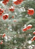 Χειμώνας Rowan Στοκ εικόνες με δικαίωμα ελεύθερης χρήσης