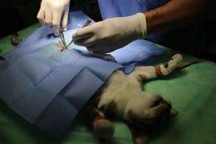 Χειρουργική επέμβαση - gonadectomy Στοκ Εικόνες