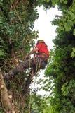 Χειρούργος δέντρων σε ένα λουρί Στοκ εικόνες με δικαίωμα ελεύθερης χρήσης