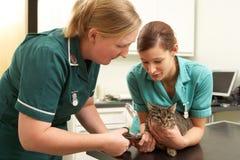Χειρούργος και νοσοκόμα θηλυκών κτηνιατρικός που εξετάζουν τη γάτα Στοκ Εικόνα