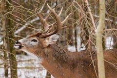 Χειλική μπούκλα αποτελμάτωσης πτώσης Buck ελαφιών Whitetail στοκ φωτογραφία