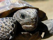 χελώνα γοπχερ Στοκ φωτογραφίες με δικαίωμα ελεύθερης χρήσης