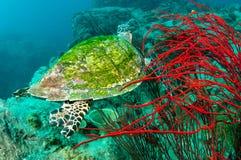 χελώνα θάλασσας κοραλ&lambd Στοκ Φωτογραφία