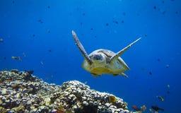 Χελώνα θάλασσας στο μπλε Στοκ φωτογραφίες με δικαίωμα ελεύθερης χρήσης