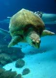 χελώνα θάλασσας υποβρύχια Στοκ Εικόνα