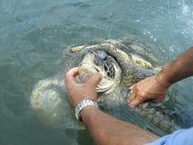χελώνα θάλασσας Στοκ Φωτογραφίες