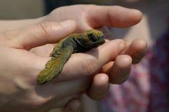 χελώνα θάλασσας 2 μωρών Στοκ Εικόνες