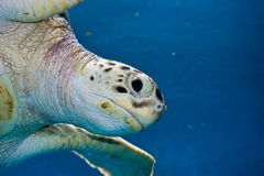 Χελώνα θάλασσας Στοκ Φωτογραφία