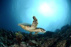 Χελώνα θάλασσας Hawksbill που κολυμπά κοντά στις Μαλδίβες στοκ φωτογραφία με δικαίωμα ελεύθερης χρήσης