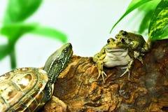 Χελώνα και βάτραχοι, καλοί φίλοι στοκ φωτογραφίες με δικαίωμα ελεύθερης χρήσης