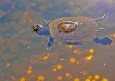 Χελώνα και θησαυρός Στοκ εικόνες με δικαίωμα ελεύθερης χρήσης
