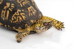 Χελώνα κιβωτίων στοκ εικόνα