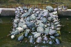χελώνα κυκλοφορίας Στοκ φωτογραφία με δικαίωμα ελεύθερης χρήσης