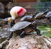 Χελώνα με ένα φλαμίγκο στην πλάτη Στοκ Εικόνες