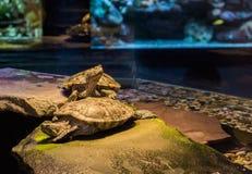 Χελώνα ολισθαινόντων ρυθμιστών του Cumberland που στέκεται σε μια άλλη χελώνα και που κοιτάζει γύρω, τροπικά κατοικίδια ζώα από τ στοκ εικόνα με δικαίωμα ελεύθερης χρήσης