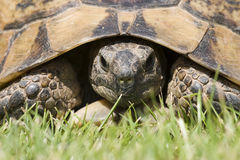 χελώνα πορτρέτου Στοκ Εικόνα