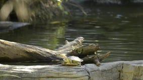 Χελώνα ποταμών της Mary απόθεμα βίντεο