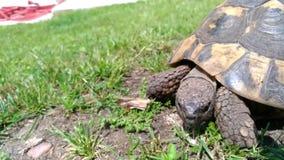 Χελώνα που περπατά στον κήπο απόθεμα βίντεο