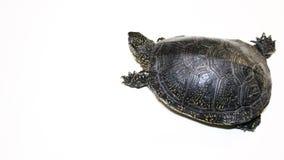 Χελώνα που σέρνεται στο λευκό απόθεμα βίντεο