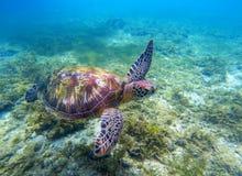 Χελώνα πράσινης θάλασσας επάνω από τα φύκια Τροπική φύση του εξωτικού νησιού Στοκ εικόνες με δικαίωμα ελεύθερης χρήσης