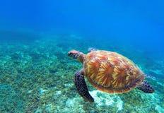 Χελώνα πράσινης θάλασσας κοντά στα φύκια Τροπική φύση του εξωτικού νησιού Στοκ εικόνες με δικαίωμα ελεύθερης χρήσης