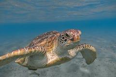 Χελώνα πράσινης θάλασσας που κολυμπά στην τροπική θάλασσα κοντά επάνω Στοκ Εικόνες