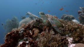 Χελώνα πράσινης θάλασσας σε μια κοραλλιογενή ύφαλο 4K φιλμ μικρού μήκους