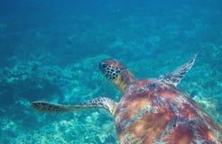 Χελώνα πράσινης θάλασσας στην τροπική ακτή υποβρύχια Τροπική φύση του εξωτικού νησιού Στοκ Φωτογραφίες