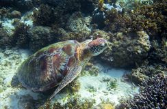 Χελώνα πράσινης θάλασσας στον πυθμένα της θάλασσας υποβρύχιο Τροπική φύση του εξωτικού νησιού Στοκ φωτογραφίες με δικαίωμα ελεύθερης χρήσης