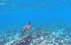 Χελώνα πράσινης θάλασσας στο ρηχό νερό της θάλασσας Τροπική φύση του εξωτικού νησιού Στοκ εικόνα με δικαίωμα ελεύθερης χρήσης
